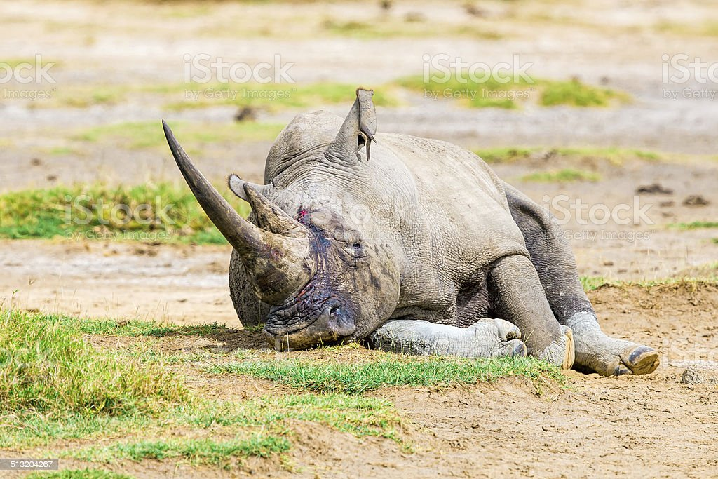 Fatal injuries White Rhino with bird - very tired stock photo