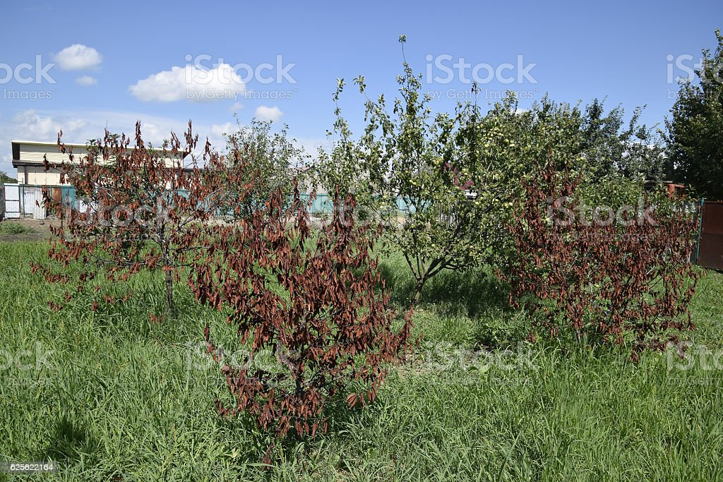 Fatalities among young cherry trees stock photo