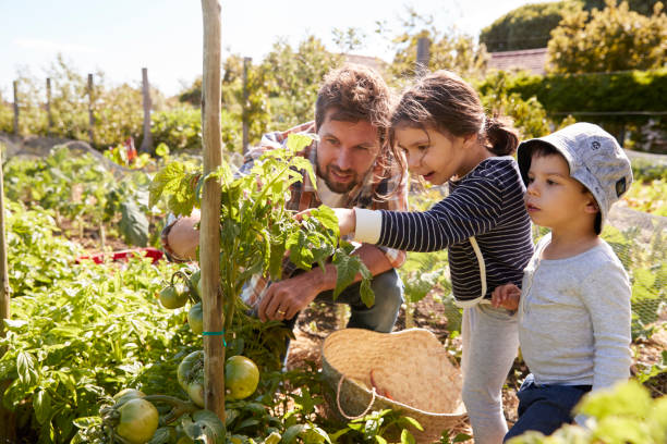 Father And Children Looking At Tomatoes Growing On Allotment stock photo