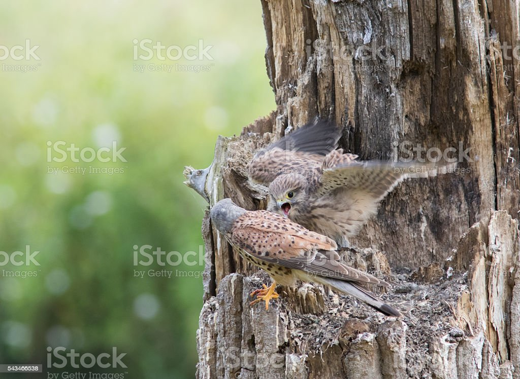 Father and Son common kestrel stock photo