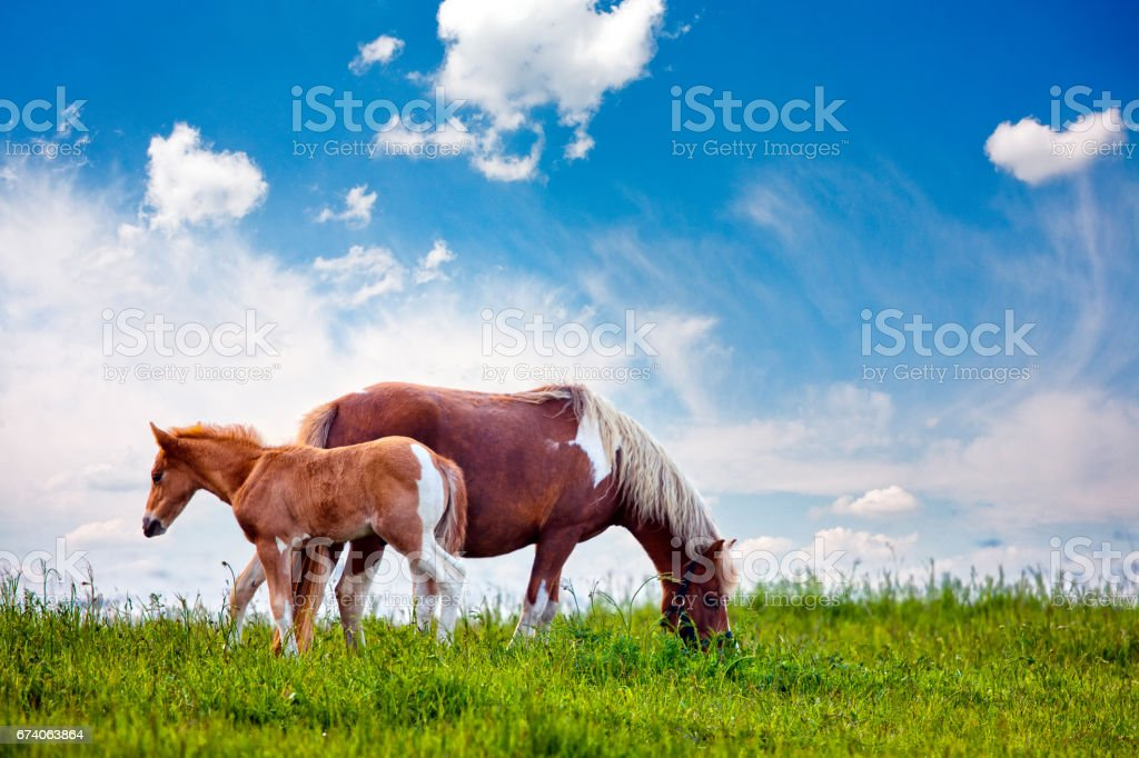 Father and Son Horses stock photo