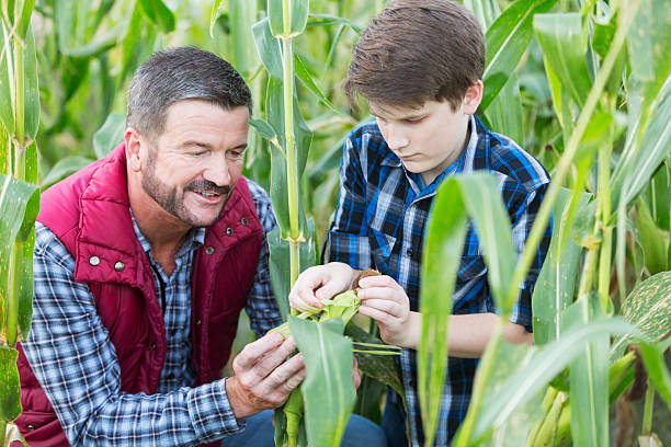 Father and son on family farm, in field of corn stock photo