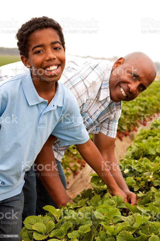 Father and son picking strawberries royalty-free stock photo