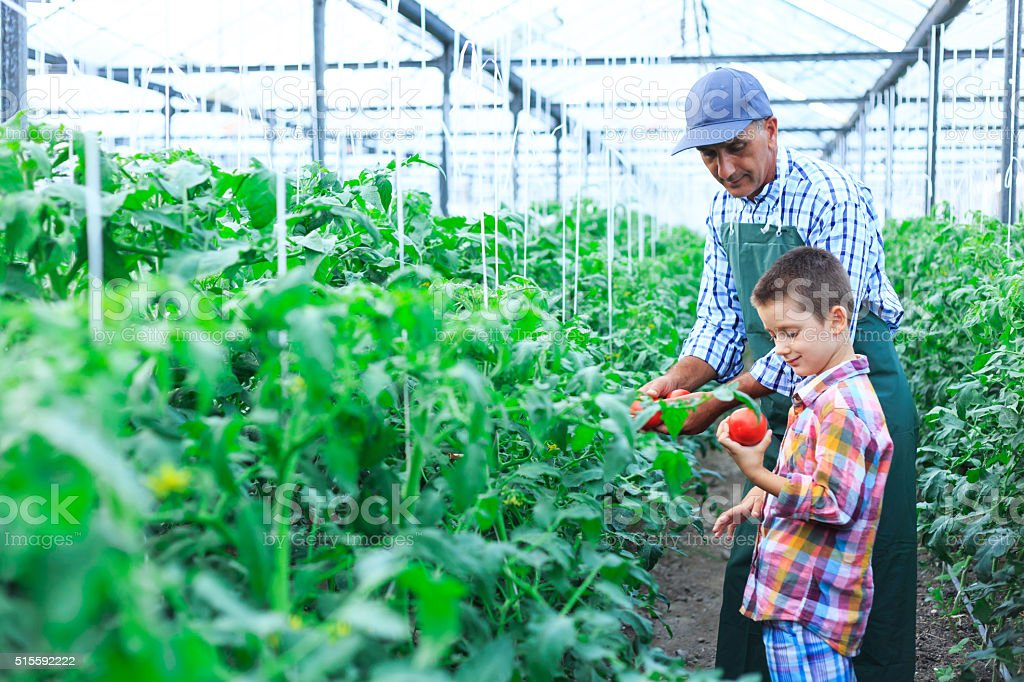 Father and son revise tomato palnts in greenhouse stock photo