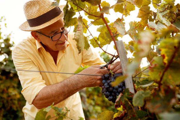 father and son tasting wine in vineyard - grape harvest stock photo