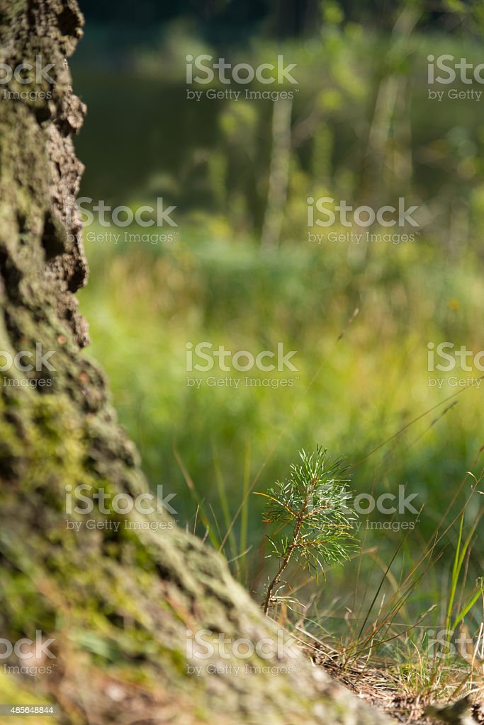 father and son - young and old pine tree stock photo