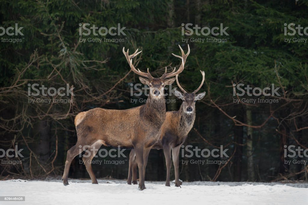 Father And Son:Two Generations Of Noble Deer Stag. Two Red Deer (Cervus Elaphus ) Stand Next The Winter Forest. Winter Wildlife Story With Deer And Spruce Forest. Two Stag Close-Up. Belarus Republic. stock photo