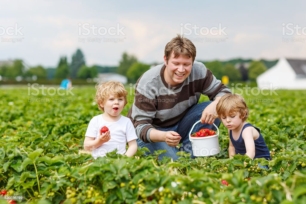 father and two little boys on organic strawberry farm stock photo
