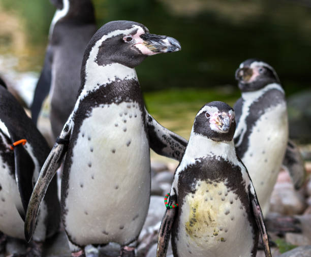Father Humboldt penguin looking after baby penguin with arm around its back. stock photo