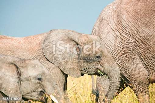 Father, Mother and calf elephant grazing together