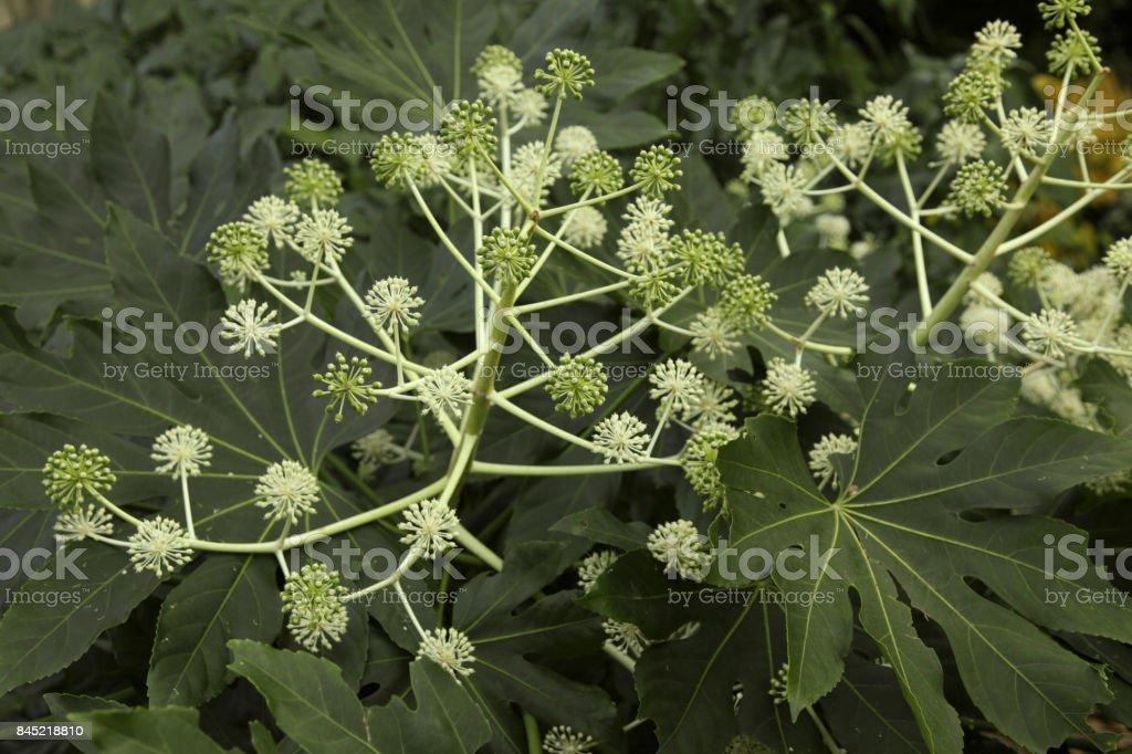 Fatsia japonica, entice stock photo