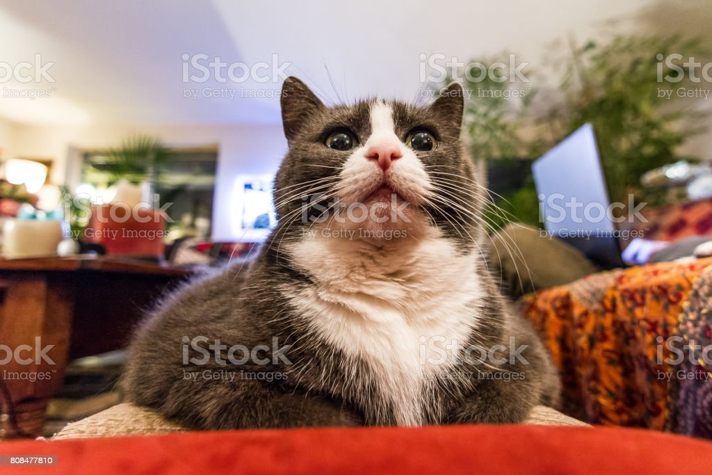 Wide angle close up of a funny chubby obese fat kitty cat looking...