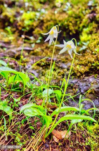 istock Faun Lily in the rain 1316682993