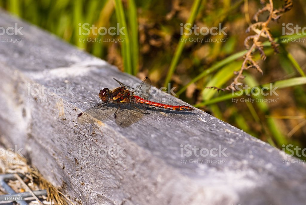 Fauna, Animal, Insect, Dragonfly, Male Common Darter