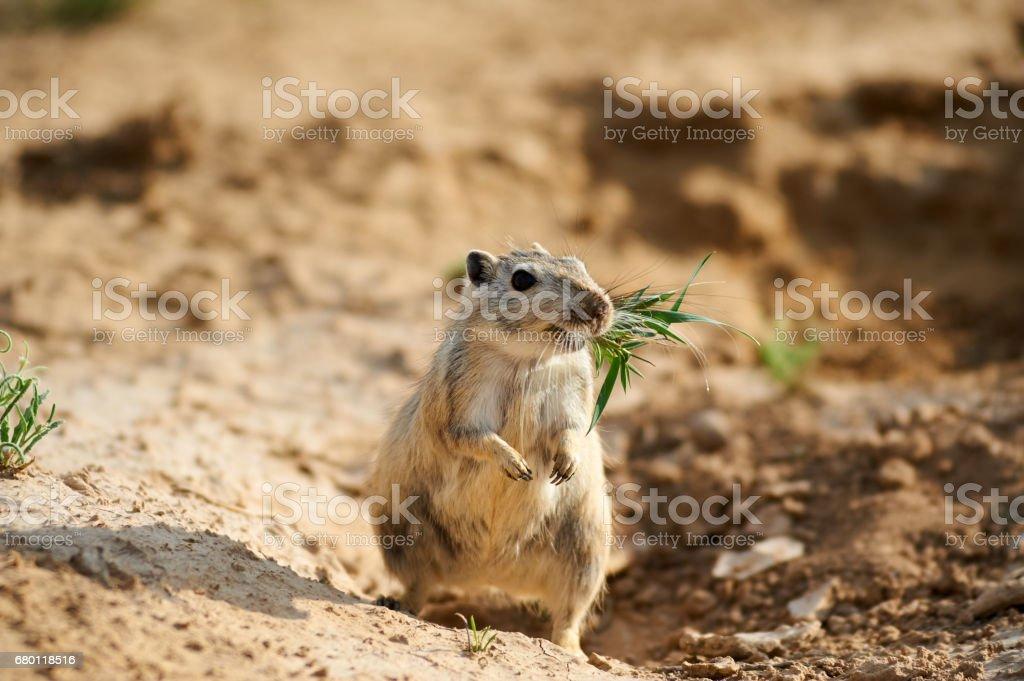 Fauna of Kazakhstan. Midday gerbil stock photo