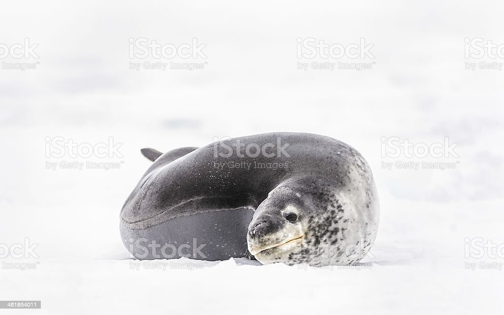 Fauna of South Pole royalty-free stock photo