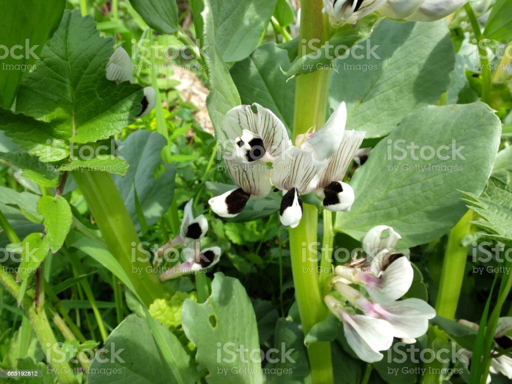 Fava Bean Flower. stock photo
