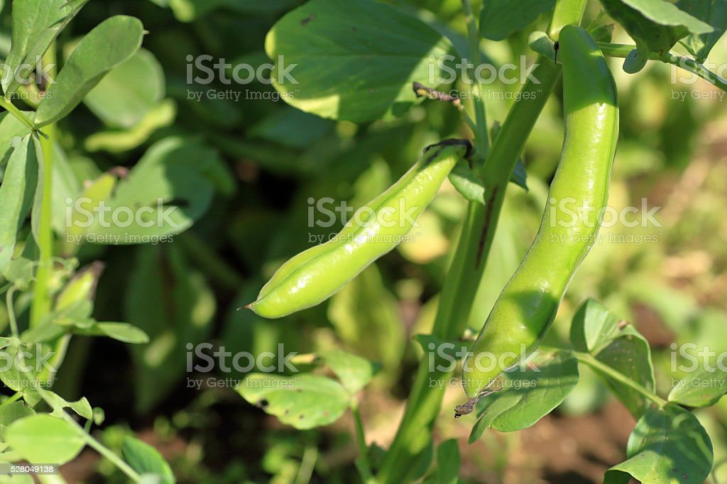 Fava bean in the farm field stock photo