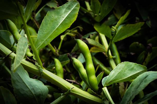 Fava Beans Growing in an Organic Vegetable Garden stock photo