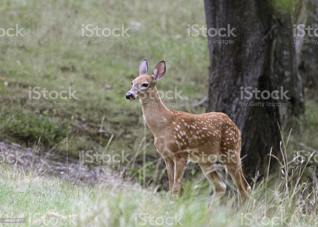 Fawn and Tree royalty-free stock photo