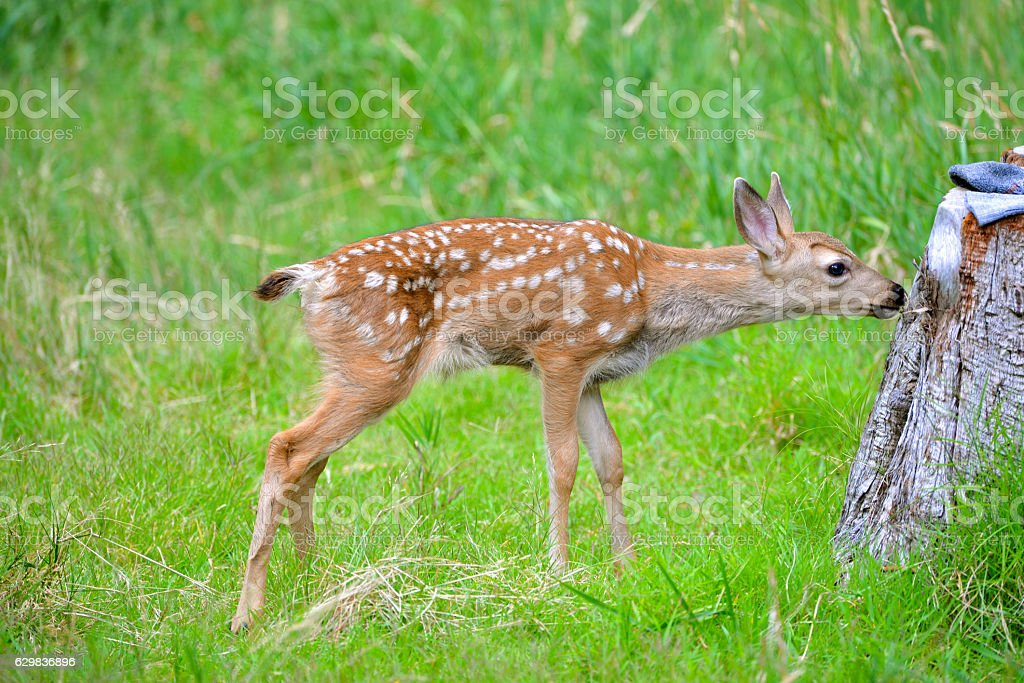 Fawn, baby, and deer, in Yosemite Park, breast-feeding stock photo