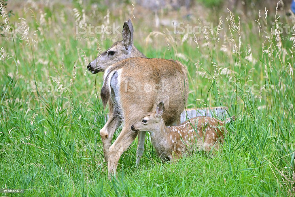 Fawn, baby, in Yosemite Park stock photo