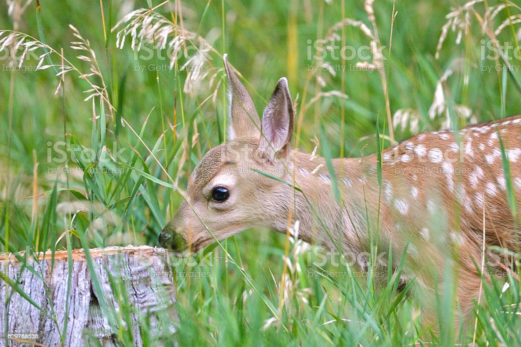 Fawn, baby stock photo