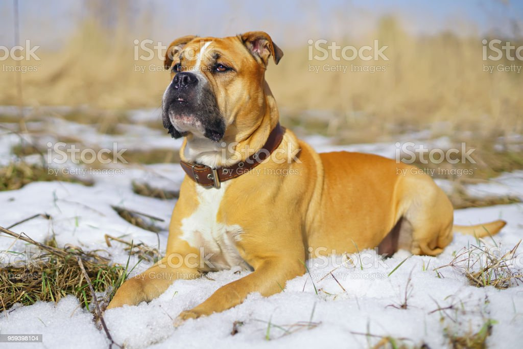 Fawn Ca de Bou dog lying down on a snow in winter