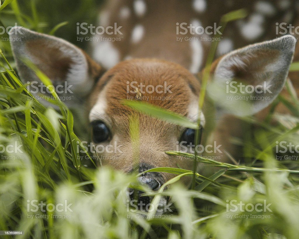 Fawn Camouflage royalty-free stock photo
