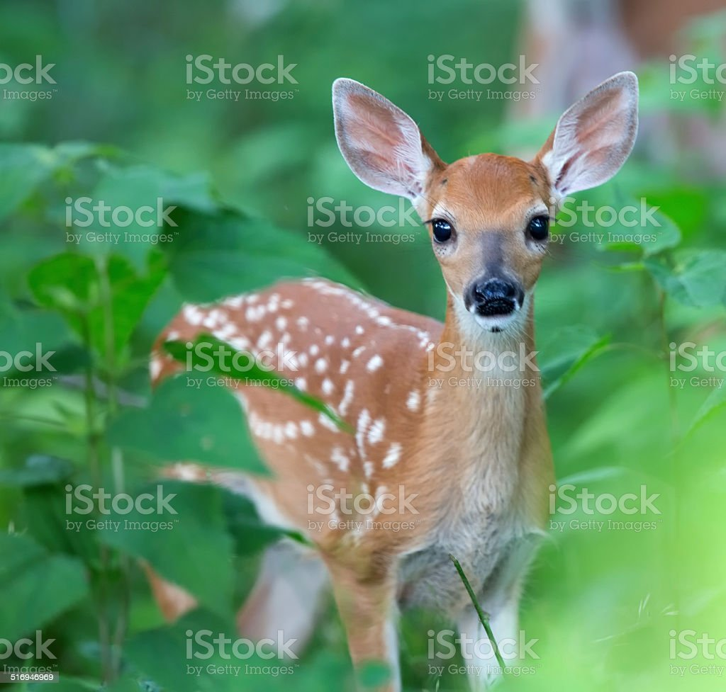 Fawn closeup stock photo