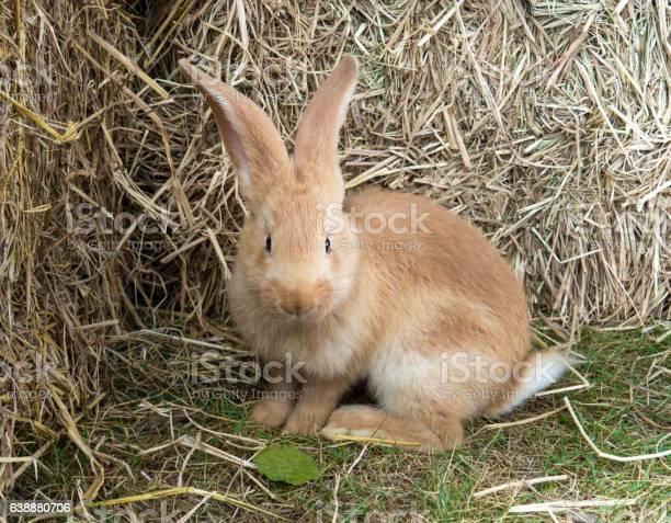 Fawn colour young rabbit standing on green garden picture id638880706?b=1&k=6&m=638880706&s=612x612&h=uwqmic94rmejvleuzaksbxcvf3e8vnzu6b11f4zrg g=