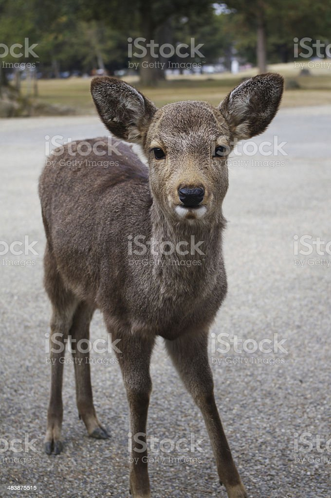 Fawn Deer Nara Japan royalty-free stock photo