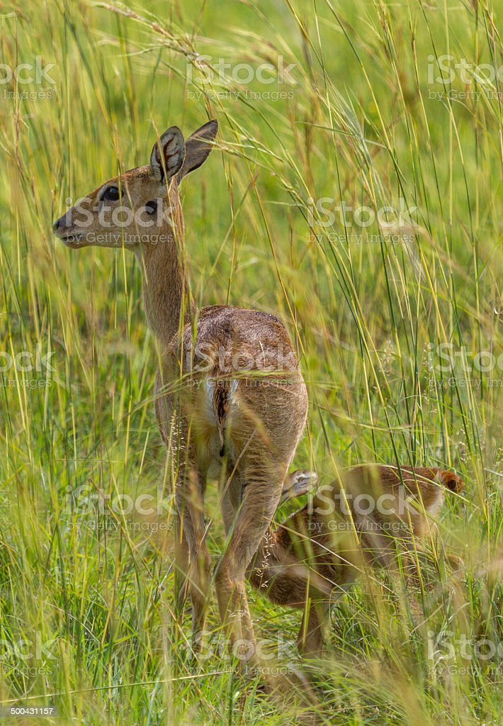 Fawn drinking from its mother stock photo