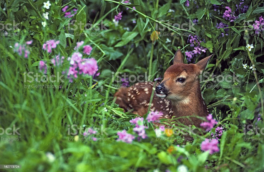 Fawn & Flowers royalty-free stock photo