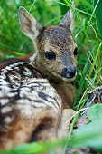 fawn in the wild background portrait