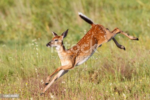A whitetail fawn deer completing a high jump