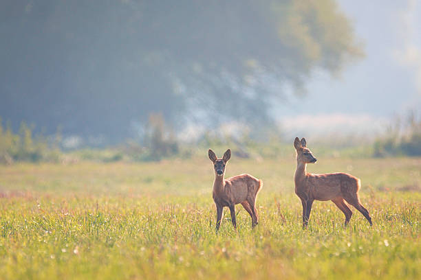fawn of the roe deer in the meadow - reh stock-fotos und bilder
