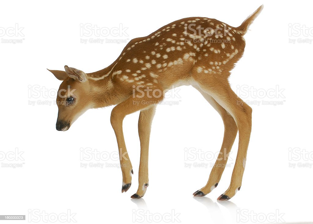 fawn stock photo