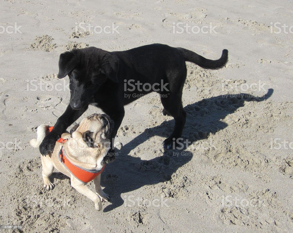 Fawn Pug and Black Dog Playing on a beach. stock photo