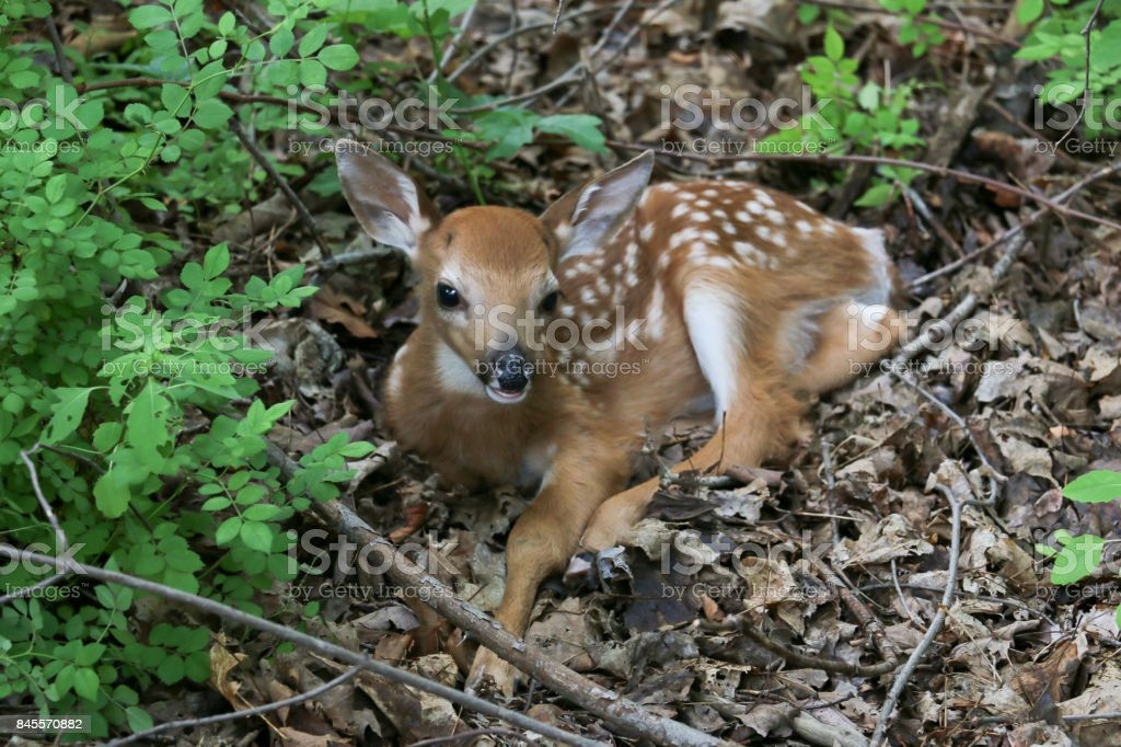 Fawn Resting royalty-free stock photo