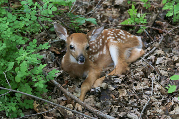 Fawn Resting stock photo