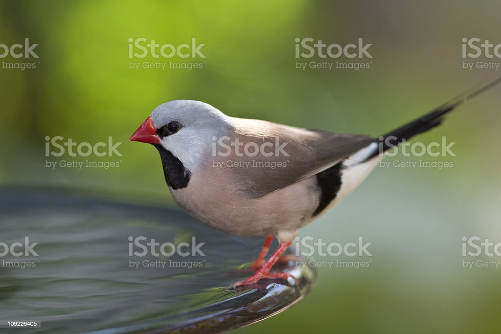 Fawn Shafttail Finch stock photo