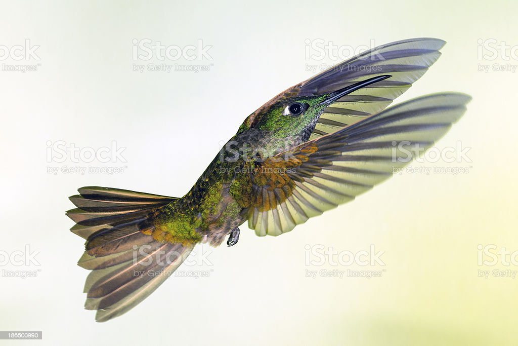 Fawn-breasted Brilliant Hummingbird with Wings Forward royalty-free stock photo