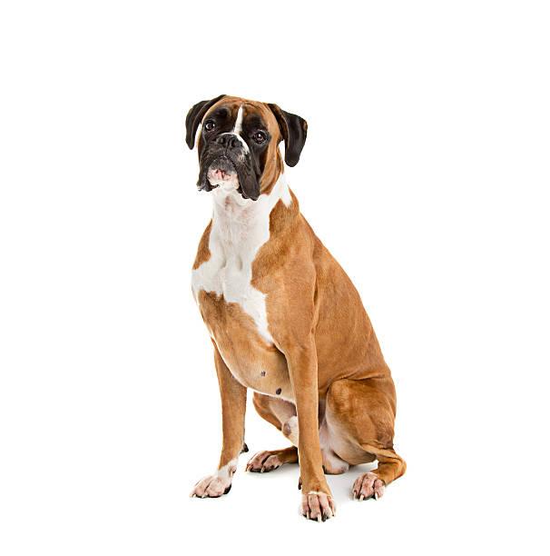 jelonek kolorowy boxer - bokser pies zdjęcia i obrazy z banku zdjęć