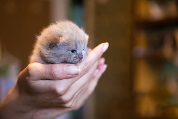 Fawncoloured british kitten in mens hand little kitten picture id871763944?b=1&k=6&m=871763944&s=612x612&w=0&h=ofn4cxsgdyy5q5rdyyhs0sowhxdozb27obpwyi zcfu=