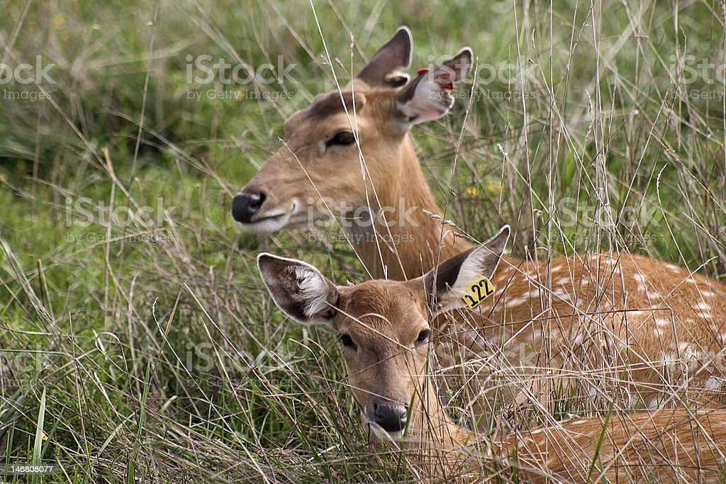 Fawns in Grass stock photo