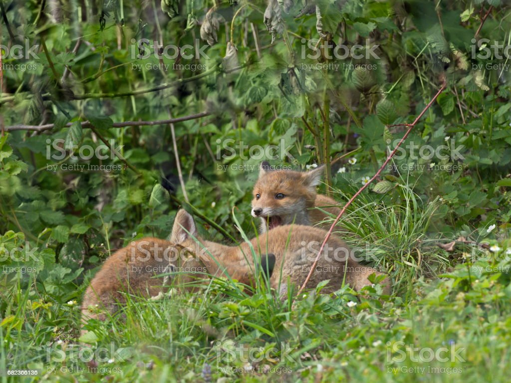 Füchse im Garten foto stock royalty-free