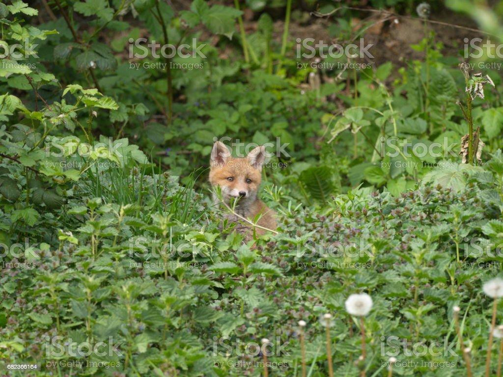 Füchse im Garten royalty free stockfoto