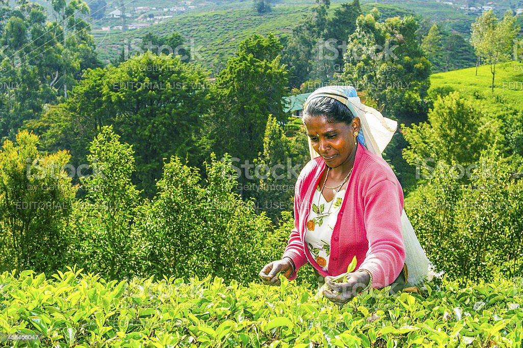 feamle tea picker works in the fields stock photo