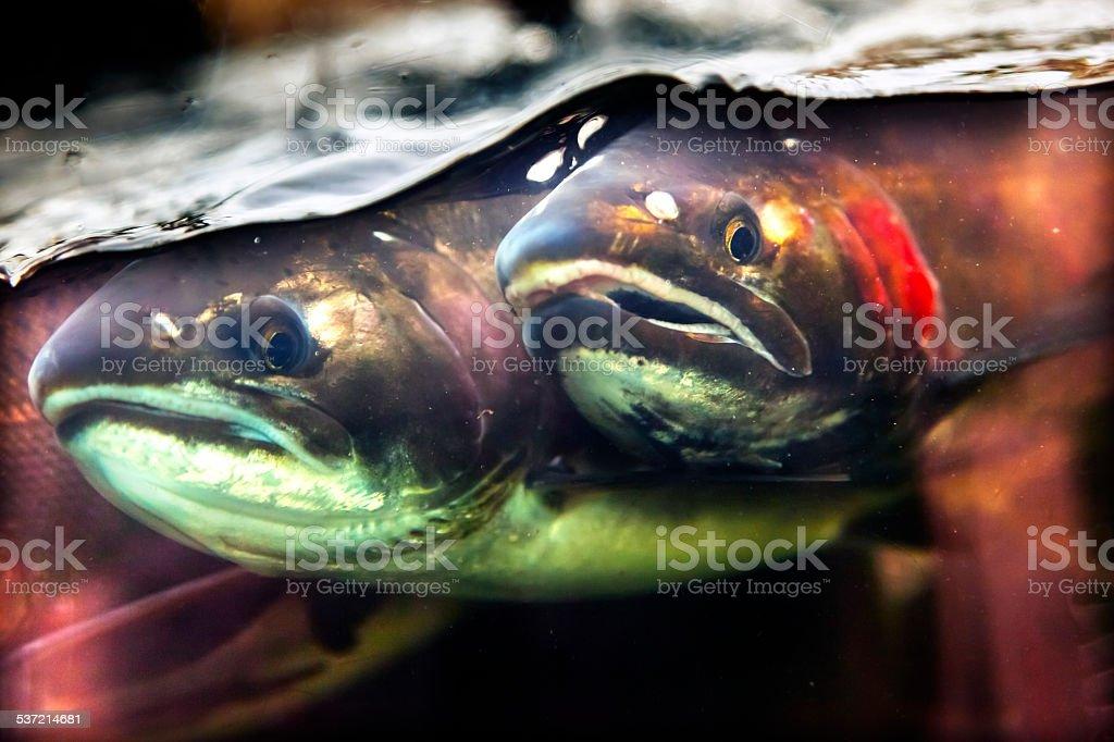 Fear Chinook Coho Salmon Close Up Issaquah Hatchery Washington stock photo